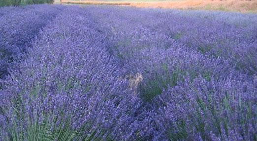 grosso-lavender